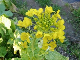20100301_02_菜の花.JPG