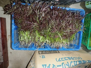 20100509_04_野菜セット出荷.jpg