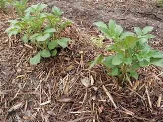 20100515_03_炭素循環農法見学.jpg